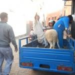 Schaf auf Auto
