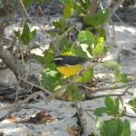 Vogel gelber Bauch Green Island