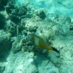Pigeon Island großer Fisch